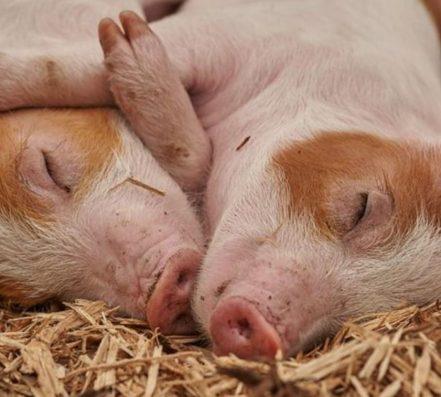 Schweine Ausschnitt e